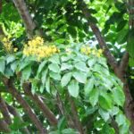 Pteriocarpus marsupium